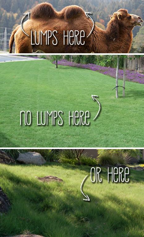 UC Verde Buffalograss Grown by Takao Nursery - Lump-Free Lawn