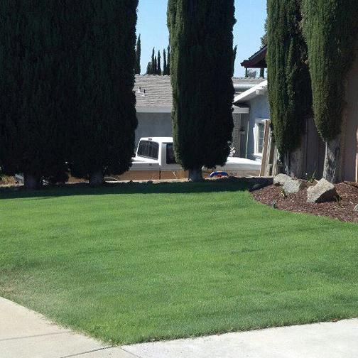 UC Verde Buffalograss Grown by Takao Nursery, Home of Chris Wilson, El Cajon, Ca