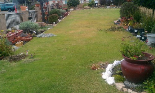 UC Verde Buffalograss Grown By Takao Nursery